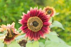 O girassol é polinizado por abelhas Imagem de Stock