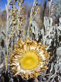 O girassol vai semear Foto de Stock