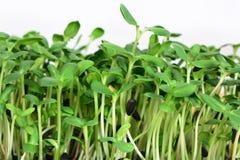 O girassol verde brota - o conceito para a nutrição saudável, close up fotos de stock