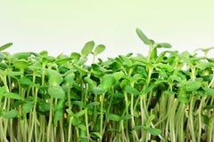 O girassol verde brota - o conceito para a nutrição saudável, close up foto de stock