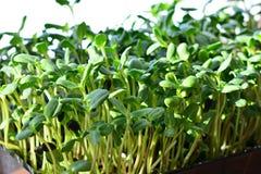 O girassol verde brota - o conceito para a nutrição saudável, close up imagem de stock