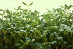 O girassol verde brota - o conceito para a nutrição saudável, close up imagens de stock
