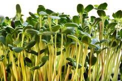O girassol verde brota - o conceito para a nutrição saudável, close up fotografia de stock royalty free