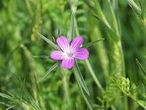O githago do Agrostemma da flor do corncockle Imagens de Stock Royalty Free