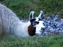 O glama da Lama do lama ou Lama do DAS, Abenteurland Walter Zoo imagem de stock royalty free
