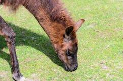 O glama da Lama pasta no pasto em um dia ensolarado da mola Guanicoe da Lama da família do camelo Imagem de Stock