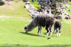 O glama da Lama pasta no pasto em um dia ensolarado da mola Guanicoe da Lama da família do camelo Fotografia de Stock