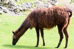 O glama da Lama pasta no pasto em um dia ensolarado da mola Guanicoe da Lama da família do camelo Imagem de Stock Royalty Free