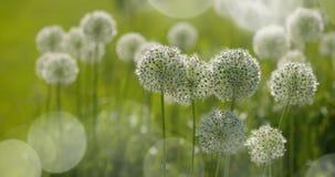 O globo circular do Allium branco deu forma a flores funde no vento foto de stock royalty free