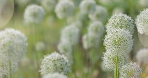 O globo circular do Allium branco deu forma a flores funde no vento imagem de stock