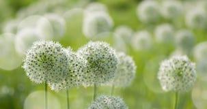 O globo circular do Allium branco deu forma a flores funde no vento fotografia de stock royalty free
