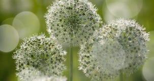 O globo circular do Allium branco deu forma a flores funde no vento fotos de stock royalty free