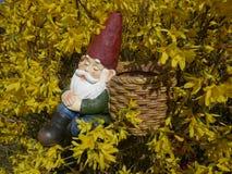 O gnomo adormecido do jardim senta-se em um arbusto de florescência amarelo da forsítia e inclina-se contra uma cesta Fotos de Stock Royalty Free