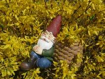 O gnomo adormecido do jardim senta-se em um arbusto de florescência amarelo da forsítia e inclina-se contra uma cesta Foto de Stock