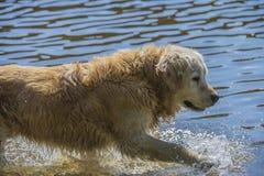 O golden retriever banha-se no mar Imagens de Stock Royalty Free