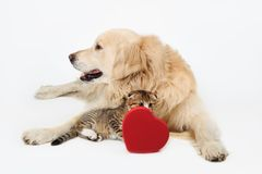 O golden retriever bonito do cão e os Scottish pequenos bonitos dobram o gatinho com a caixa da forma do coração no backgroundand fotografia de stock