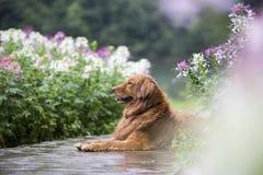 O golden retriever bonito nas flores Fotografia de Stock