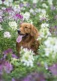 O golden retriever bonito nas flores Fotos de Stock Royalty Free