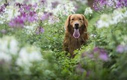O golden retriever bonito nas flores Fotos de Stock