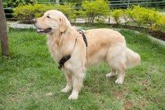 O golden retriever bonito produz a cadela no parque imagem de stock