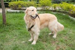 O golden retriever bonito produz a cadela no parque fotos de stock royalty free
