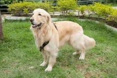 O golden retriever bonito produz a cadela no parque foto de stock