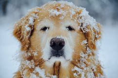 O golden retriever da tempestade de neve após a neve no NH foto de stock royalty free