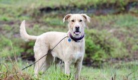 O golden retriever de Labrador misturou o cão da raça com a etiqueta da identificação da raiva foto de stock royalty free