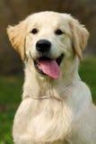 O golden retriever do cachorrinho Imagem de Stock