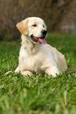 O golden retriever do cachorrinho Fotos de Stock