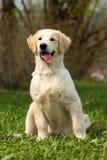 O golden retriever do cachorrinho Fotografia de Stock Royalty Free