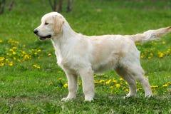 O golden retriever do cachorrinho Imagens de Stock Royalty Free