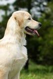 O golden retriever do cachorrinho Imagem de Stock Royalty Free