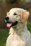 O golden retriever do cachorrinho Imagens de Stock
