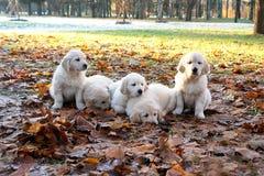 O golden retriever do cachorrinho na caminhada de а Fotografia de Stock
