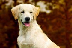 O golden retriever feliz do cachorrinho anda no outono na natureza, Foto de Stock Royalty Free