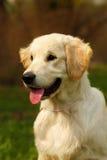 O golden retriever feliz do cachorrinho anda no verão na natureza, Imagem de Stock