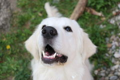 O golden retriever quer comer Fotografia de Stock
