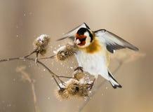 O Goldfinch europeu flits sobre o burdock Imagens de Stock Royalty Free
