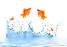 O Goldfish está saltando Imagens de Stock Royalty Free