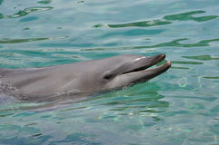 O golfinho com dirige para fora a água Fotografia de Stock