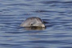 O golfinho de Bottlenose atlântico selvagem que expira como ele surge - a ilha de Jekyll, Geórgia fotos de stock