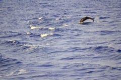 O golfinho que salta nas ondas Fotografia de Stock Royalty Free