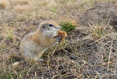 O Gopher acordou na primavera foto de stock royalty free