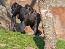 O gorila de planície ocidental, gorila g o gorila, veste um filhote nela para trás foto de stock royalty free
