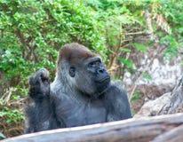 O gorila engraçado senta-se aqui e esperando o foto de stock