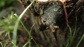 O grande besouro de veado preto rasteja através de uma árvore na floresta filme