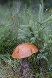 O grande boleto cresce sob a árvore pequena Tem um chapéu amarelado e um stipe branco imagem de stock
