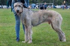 O grande cão caçador de lobos irlandês está estando em um prado verde com seu proprietário Animais de animal de estimação foto de stock