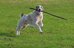 O grande cão joga com uma vara no verde um prado Imagens de Stock